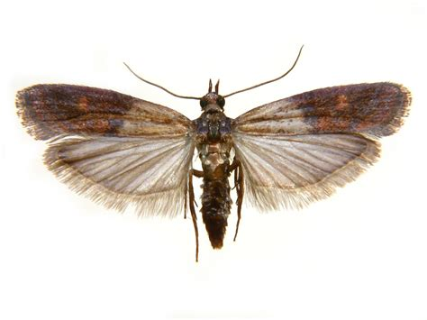 Indian Pantry Moth Pest Library