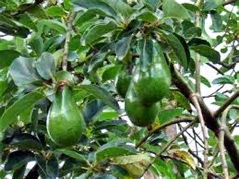 tanaman buah bibit tanaman buah alpukat