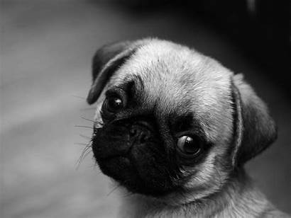 Pug Puppy Puppies Wallpapers Pugs Dog Dogs