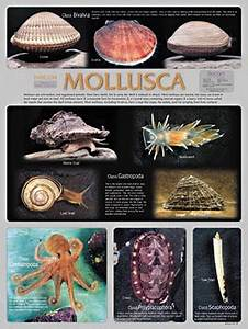 17 Best Images About Phylum Mollusca On Pinterest