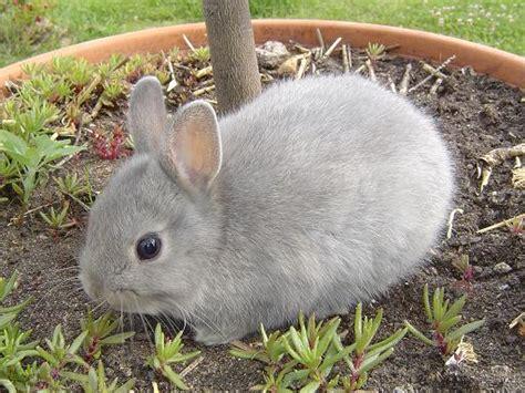 lapin nain tout savoir sur le lapin nain alimentation