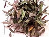 Hoya sigillatis | Комнатные растения, Растения
