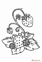 Strawberry Plant Template Coloring Line Pages Printable Plants Downloadable Berries sketch template