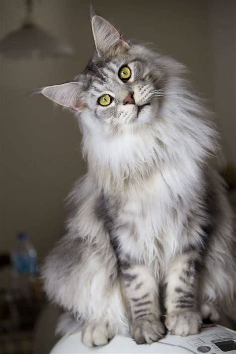 50+ Best Maine Coon Cat Collection Golfiancom