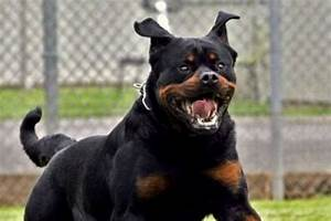 10 of most dangerous dog breeds that turn on their owners With rottweiler dangerous dog