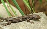 Classification of reptiles, origin & classes. Different ...