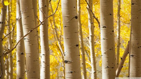 Download Birch Trees Wallpaper 1920x1080  Wallpoper #438028
