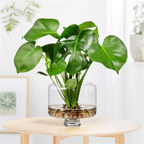 monstera water plant  glasvase