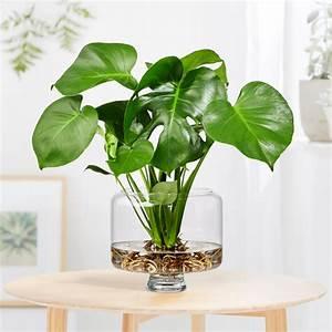 Anthurie Im Wasser : monstera water plant in glasvase ~ Yasmunasinghe.com Haus und Dekorationen