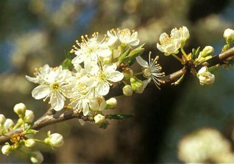 pflaumenzwetschenmirabellenrenekloden prunus domestica