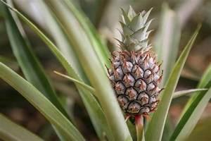 Plant D Ananas : hoe lang duurt het om te groeien van de ananas ~ Melissatoandfro.com Idées de Décoration