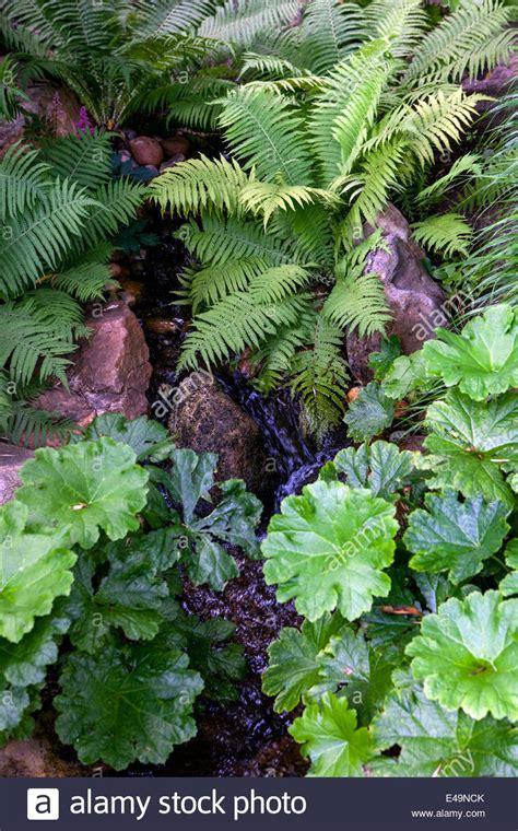 Astilboides Tabularis Pflanzen Für Einen Schattigen
