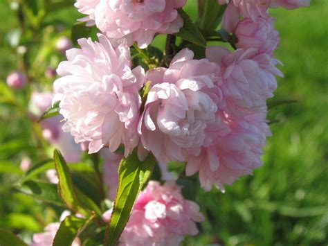 Pink Flowering Almond Bush  This Is The First Year This