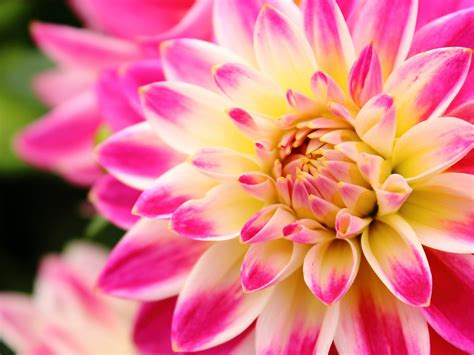 Flower In Three Colours Pink Dahlia White And Yellow Hd