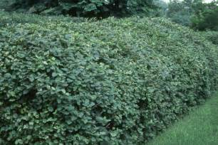 Lantana Viburnum Hedge