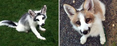 breathtakingly beautiful fox species