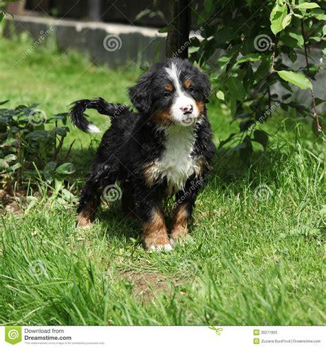 bernese mountain dog puppy in the garden stock photos image 30271903