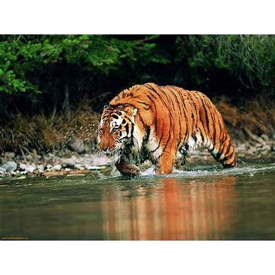 Bengal Tigers Latest Hd WAllpapers 2013Top hd animals
