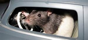 Comment Se Debarrasser Des Rats : comment se d barrasser des rats minute ~ Melissatoandfro.com Idées de Décoration