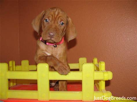 vizsla puppy shedding a lot breed vizsla