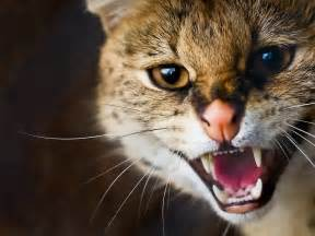 angry cat angry cat hd wallpapers