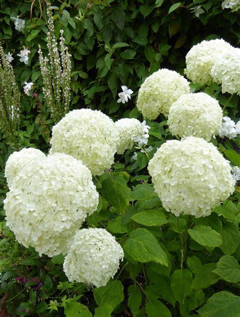 hydrangea arborescens annabelle hydrangea arborescens annabelle buy at s annuals
