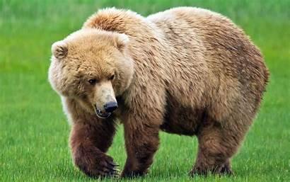 Bear Brown Desktop Wallpapers 4k