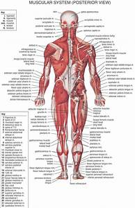Back Muscles Labeled Lower Back Muscles Labeled - Human ...