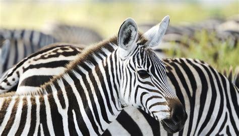 herbivore animals omnivore carnivore herbivores getty zebras