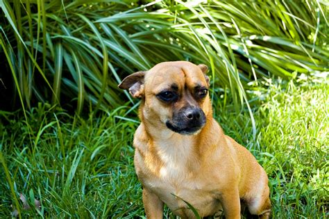 jug dog breed   jack russel  pug mix