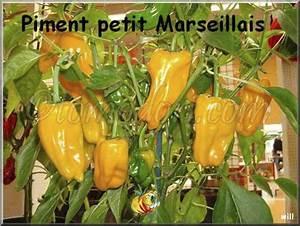 Poivron Petit Marseillais : piment petit marseillais ~ Melissatoandfro.com Idées de Décoration
