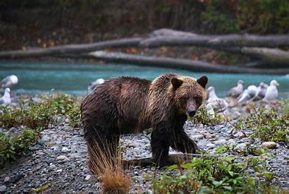 Bear Wildlife Grizzly Salmon British Columbia Searching