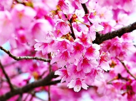 Gambar Wallpaper Bunga Sakura Jepang Cantik Caption