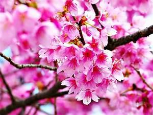 Gambar Bunga Sakura Related Keywords