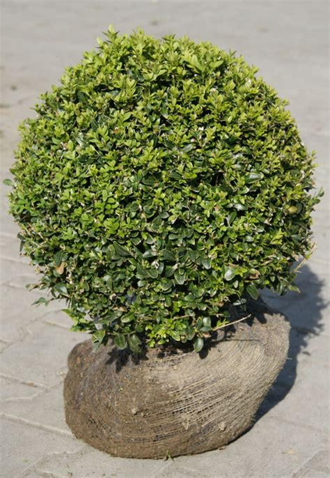 Mit Buchsbaum by Buchs Baum Bilder News Infos Aus Dem Web