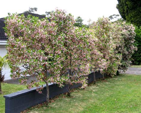 gardensonline elaeocarpus reticulatus prima donna