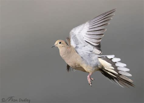 Mourning Dove In Flight Feathered Photography