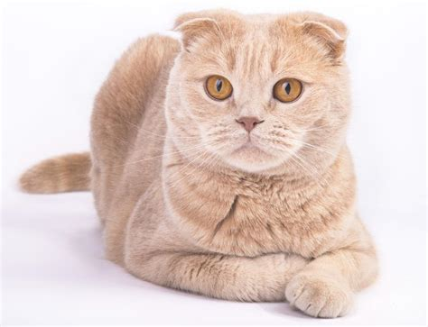 interesting facts   extremely cute scottish fold cat