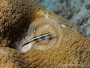 Yellownose Goby 03 Stock Image