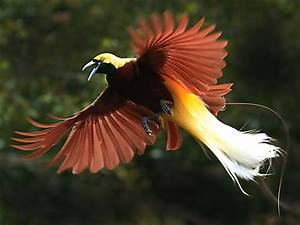 Bird of Paradise | Animal Wildlife