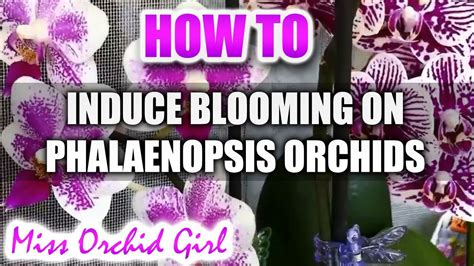 how to get phalaenopsis to bloom how to induce blooming on phalaenopsis orchids youtube