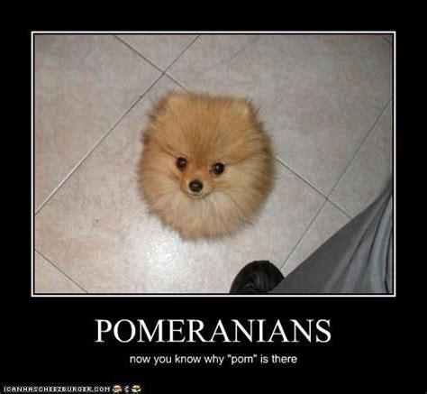 Pomeranian Meme - pomeranian meme 28 images 10 cute pomeranian memes dogs and puppies 62 best images about