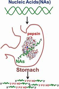Why Is Pepsin So Important
