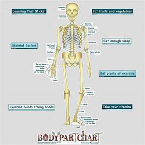 Simplified Skeletal System Labeled Decal