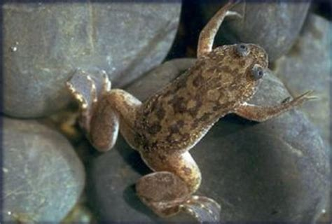 Do Aquatic Frogs Shed Their Skin by Clawed Frog