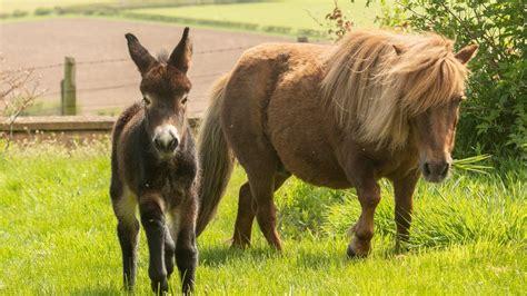 donkey pony shetland half birth