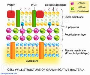 Cell Wall Of Bacteria  Structure  Functions  Gram Positive