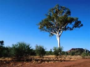 nature ghost gum tree central australia free desktop wallpaper s
