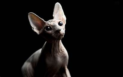 Sphynx Cat Wallpapers Cats Kittens Background
