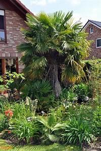 Trachycarpus Fortunei Auspflanzen : trachycarpus fortunei pflege hanfpalme trachycarpus fortunei pflege vermehrung majas ~ Eleganceandgraceweddings.com Haus und Dekorationen